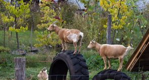Goats on Tires Royalty Free Stock Photo