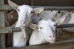 Two goats stick their heads through bars of stable Stock Photography