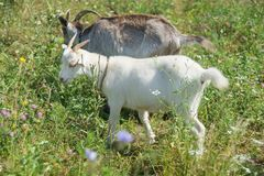 Two goats are on the summer meadow Royalty Free Stock Images