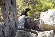 Two goats Stock Photos