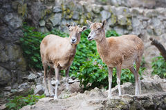 Two goats in the zoo Royalty Free Stock Images