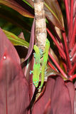 Two gold dust day geckos in a race on a tree in Hawaii Royalty Free Stock Photos