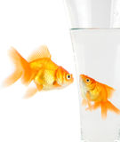 Two gold fish Royalty Free Stock Image