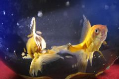Two gold fish blurred background