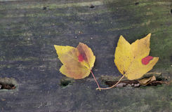 Two gold leaves on weathered board Stock Photos