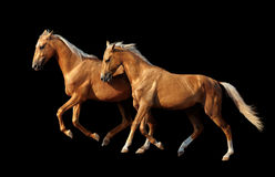Two golden akhal-teke horses isolated on black background stock images