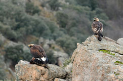 Two golden eagles Stock Photography