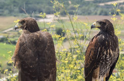 Two golden eagles resting in the sun Royalty Free Stock Photo