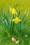 Two golden eggs hidden next to two daffodils. With green background and sunlight Royalty Free Stock Photos