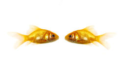 Two golden fish Stock Photo