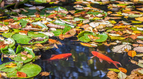 Two golden fish facing each other in a pond with fallen yellow l Royalty Free Stock Image