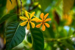 Two golden gardenia with green leaves Stock Images