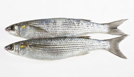 Two Golden grey mullet Liza aurata Stock Image