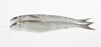 Two Golden grey mullet Liza aurata Royalty Free Stock Photos