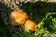 Two golden mushrooms - Gymnopilus suberis Royalty Free Stock Photos