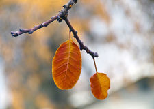 Two Golden Orange Leaves of Fall Stock Photography