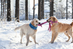 Two golden retriever.  Clothes for dogs. dogs playing outdoors in winter. Royalty Free Stock Photos