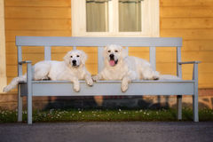 Two golden retriever dogs lying down on a bench Stock Photo