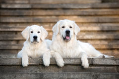 Two golden retriever dogs lying down on the stairs Royalty Free Stock Image