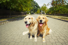 Two golden retriever dogs Royalty Free Stock Photo