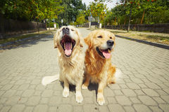 Two golden retriever dogs Royalty Free Stock Images