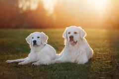 Two golden retriever dogs outdoors in sunset Stock Photos