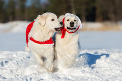 Two golden retriever dogs  outdoors in winter Stock Images