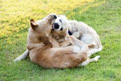 Two Golden Retriever dogs playing and biting. Two Golden Retriever dogs aggressively playing together and biting each other, laying on green lawn in park, viewed royalty free stock photos