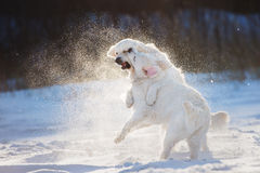 Two golden retriever dogs playing outdoors Royalty Free Stock Photo