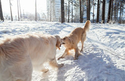 Two golden retriever dogs playing outdoors in winter. Clothes for dogs. Stock Image