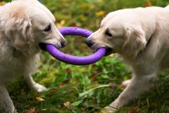 Two golden retriever dogs playing with a toy together in autumn. royalty free stock images