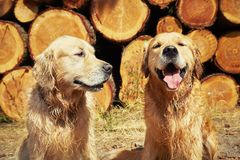 Two golden retriever dogs Stock Image