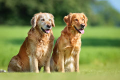Two golden retriever dogs Royalty Free Stock Image