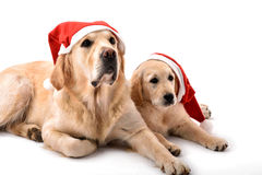 Two golden retriever dogs with Santa Claus hats stock image