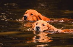 Two Golden Retriever dogs swimming on the water of a lake. With just the head out of the water for breathing. Friendly dogs swimming side by side Stock Images