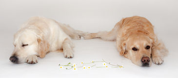 Two Golden Retriever. Are dreaming in the photo studio stock image
