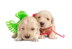 Two Golden Retriever Puppies. With Christmas ribbons Stock Photo