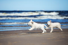 Two golden retriever puppies on a beach Stock Images