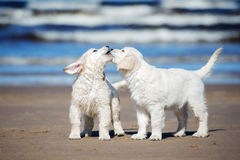 Two golden retriever puppies on a beach Stock Photography