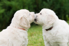 Two golden retriever puppies kissing Royalty Free Stock Images