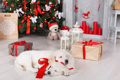 Two golden retriever puppies near christmas tree with gifts. Stock Photo