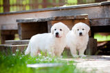 Two golden retriever puppies Royalty Free Stock Image