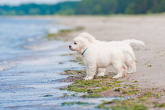 Two golden retriever puppies at the sea Stock Photo