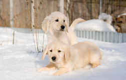 Two golden retriever puppies in snow Stock Images