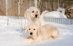 Two golden retriever puppies in snow. Golden retriever puppies in snow Stock Images