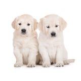 Two golden retriever puppies on white Stock Photos