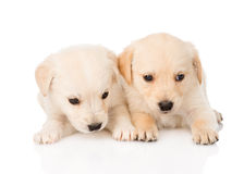 Two golden retriever puppy dog lying together. isolated on white Royalty Free Stock Photography