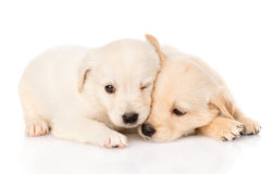Two golden retriever puppy dog lying together. isolated on white Royalty Free Stock Photos