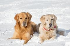 Two Golden retriever - puppy Royalty Free Stock Photo