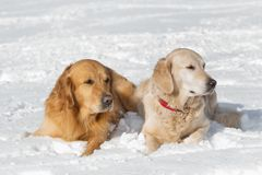 Two Golden retriever - puppy Royalty Free Stock Photography